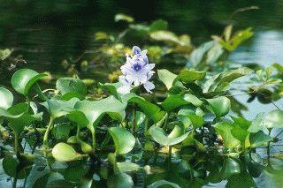 Российские ученые применили сорняк для очистки воды